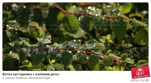 Купить «Ветка кустарника с каплями росы», фото № 12359, снято 4 ноября 2006 г. (c) Tamara Kulikova / Фотобанк Лори