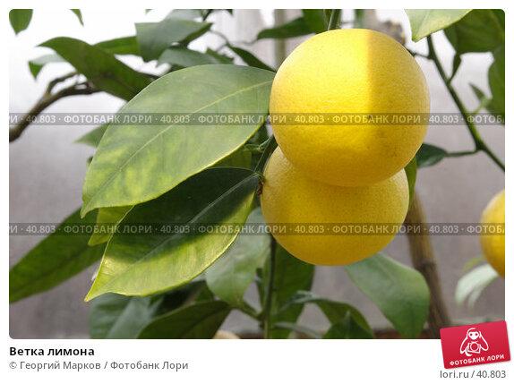 Ветка лимона, фото № 40803, снято 15 ноября 2006 г. (c) Георгий Марков / Фотобанк Лори