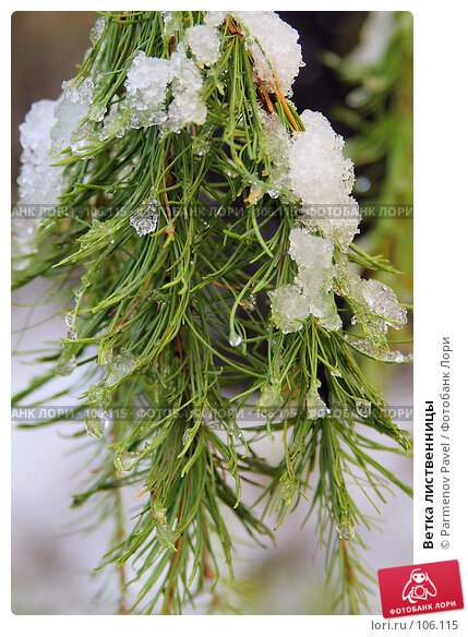 Купить «Ветка лиственницы», фото № 106115, снято 16 октября 2007 г. (c) Parmenov Pavel / Фотобанк Лори