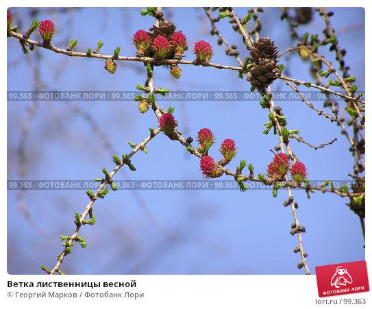 Ветка лиственницы весной, фото № 99363, снято 2 мая 2004 г. (c) Георгий Марков / Фотобанк Лори