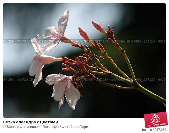 Ветка олеандра с цветами, фото № 237259, снято 22 июля 2005 г. (c) Виктор Филиппович Погонцев / Фотобанк Лори