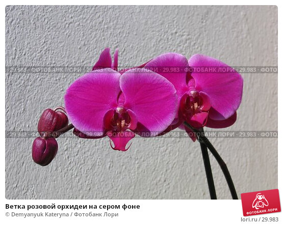 Ветка розовой орхидеи на сером фоне, фото № 29983, снято 8 марта 2007 г. (c) Demyanyuk Kateryna / Фотобанк Лори