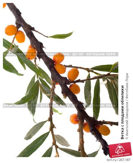 Ветка с плодами облепихи, фото № 267187, снято 12 августа 2007 г. (c) Анатолий Заводсков / Фотобанк Лори