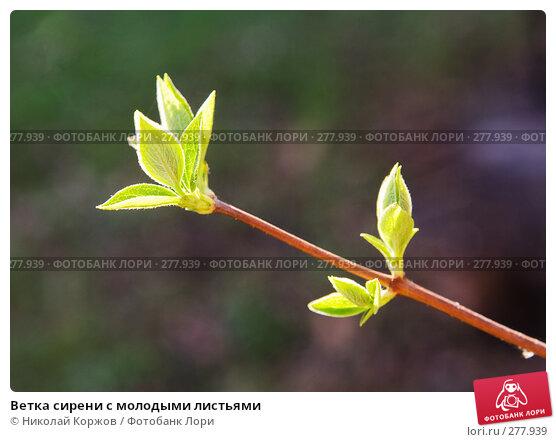 Купить «Ветка сирени с молодыми листьями», фото № 277939, снято 4 апреля 2008 г. (c) Николай Коржов / Фотобанк Лори