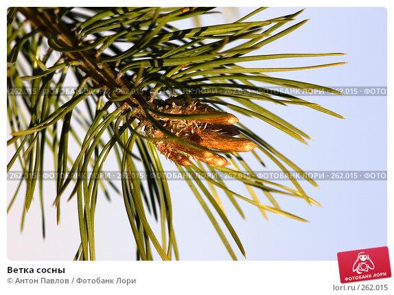 Ветка сосны, фото № 262015, снято 6 мая 2007 г. (c) Антон Павлов / Фотобанк Лори