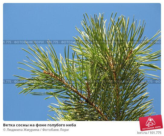 Ветка сосны на фоне голубого неба, фото № 101775, снято 28 марта 2017 г. (c) Людмила Жмурина / Фотобанк Лори