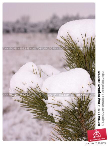 Ветка сосны под первым снегом, фото № 156859, снято 16 декабря 2007 г. (c) Сергей Литвиненко / Фотобанк Лори