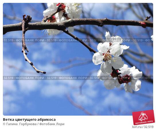 Ветка цветущего абрикоса, фото № 32519, снято 11 апреля 2006 г. (c) Галина  Горбунова / Фотобанк Лори
