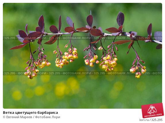 Ветка цветущего барбариса, фото № 325295, снято 12 июня 2008 г. (c) Евгений Мареев / Фотобанк Лори