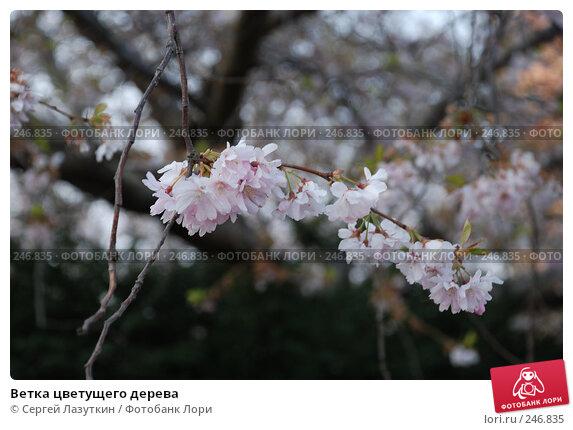 Ветка цветущего дерева, фото № 246835, снято 9 апреля 2008 г. (c) Сергей Лазуткин / Фотобанк Лори