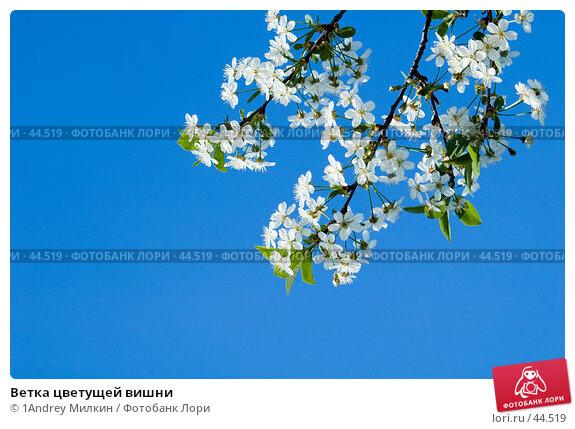 Ветка цветущей вишни, фото № 44519, снято 17 мая 2007 г. (c) 1Andrey Милкин / Фотобанк Лори