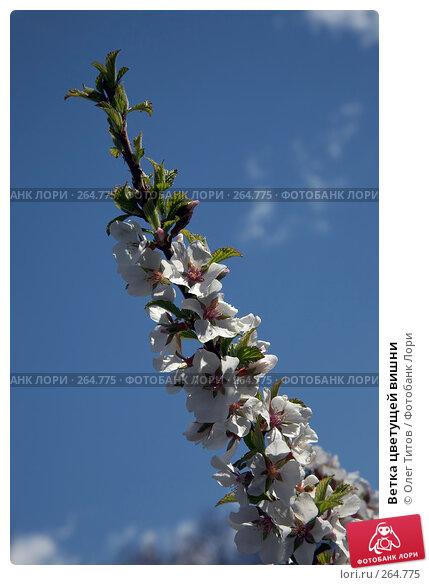 Ветка цветущей вишни, фото № 264775, снято 27 апреля 2008 г. (c) Олег Титов / Фотобанк Лори