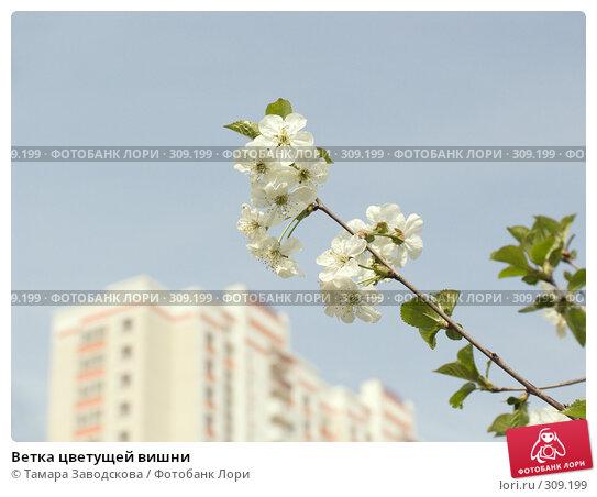Купить «Ветка цветущей вишни», эксклюзивное фото № 309199, снято 2 мая 2008 г. (c) Тамара Заводскова / Фотобанк Лори