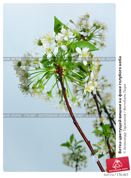 Купить «Ветка цветущей вишни на фоне голубого неба», эксклюзивное фото № 176067, снято 19 апреля 2018 г. (c) Александр Тараканов / Фотобанк Лори