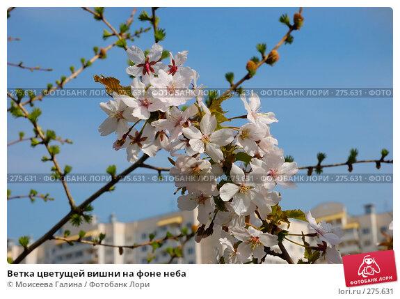 Ветка цветущей вишни на фоне неба, фото № 275631, снято 1 мая 2008 г. (c) Моисеева Галина / Фотобанк Лори