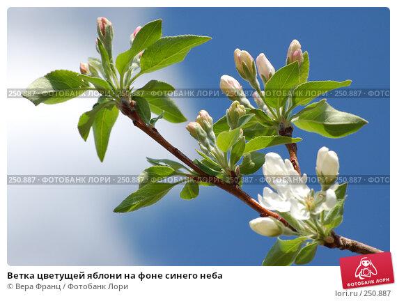 Ветка цветущей яблони на фоне синего неба, фото № 250887, снято 13 апреля 2008 г. (c) Вера Франц / Фотобанк Лори