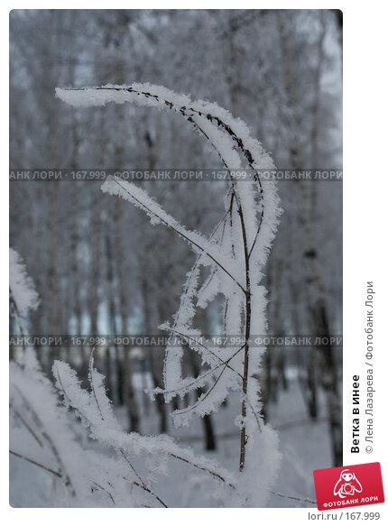 Ветка в инее, фото № 167999, снято 2 января 2008 г. (c) Лена Лазарева / Фотобанк Лори