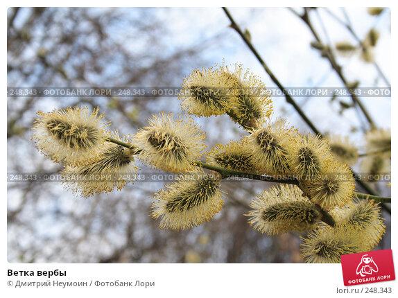 Ветка вербы, эксклюзивное фото № 248343, снято 10 апреля 2008 г. (c) Дмитрий Нейман / Фотобанк Лори
