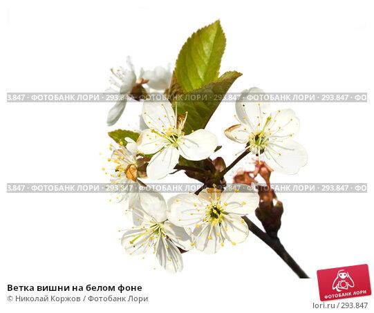 Ветка вишни на белом фоне, фото № 293847, снято 18 мая 2008 г. (c) Николай Коржов / Фотобанк Лори