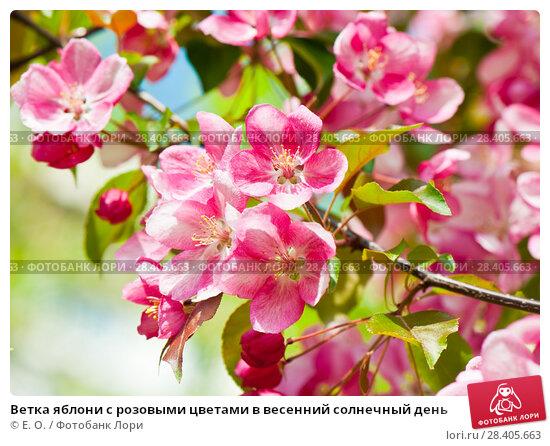 Купить «Ветка яблони с розовыми цветами в весенний солнечный день», фото № 28405663, снято 13 мая 2018 г. (c) Екатерина Овсянникова / Фотобанк Лори