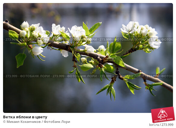 Ветка яблони в цвету, фото № 273999, снято 30 апреля 2008 г. (c) Михаил Коханчиков / Фотобанк Лори