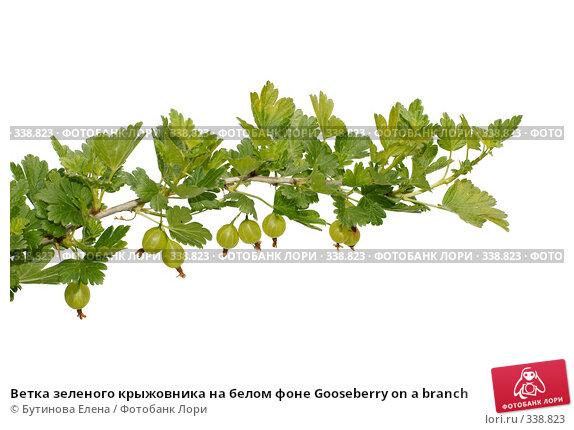 Ветка зеленого крыжовника на белом фоне Gooseberry on a branch, фото № 338823, снято 28 июня 2008 г. (c) Бутинова Елена / Фотобанк Лори