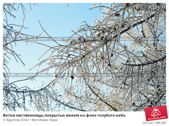 Купить «Ветки лиственницы,покрытые инеем на фоне голубого неба», фото № 140347, снято 5 декабря 2007 г. (c) Круглов Олег / Фотобанк Лори