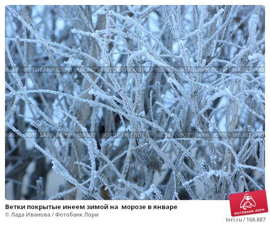 Ветки покрытые инеем зимой на  морозе в январе, фото № 168887, снято 4 января 2008 г. (c) Лада Иванова / Фотобанк Лори