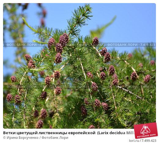 Лиственница европейская larix decidua pendula pa 100, 6-8 100-140 ...   470x520