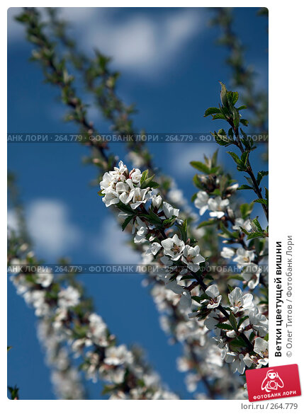 Ветки цветущей вишни, фото № 264779, снято 27 апреля 2008 г. (c) Олег Титов / Фотобанк Лори