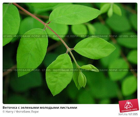 Веточка с зелеными молодыми листьями, фото № 67095, снято 8 июня 2004 г. (c) Harry / Фотобанк Лори