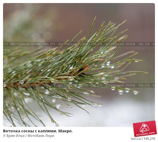 Купить «Веточка сосны с каплями. Макро.», фото № 195275, снято 3 февраля 2008 г. (c) Ерин Илья / Фотобанк Лори