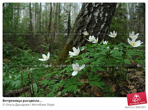Ветреница расцвела..., фото № 243411, снято 9 мая 2005 г. (c) Ольга Дроздова / Фотобанк Лори