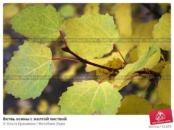 Ветвь осины с желтой листвой, фото № 13975, снято 17 сентября 2006 г. (c) Ольга Красавина / Фотобанк Лори
