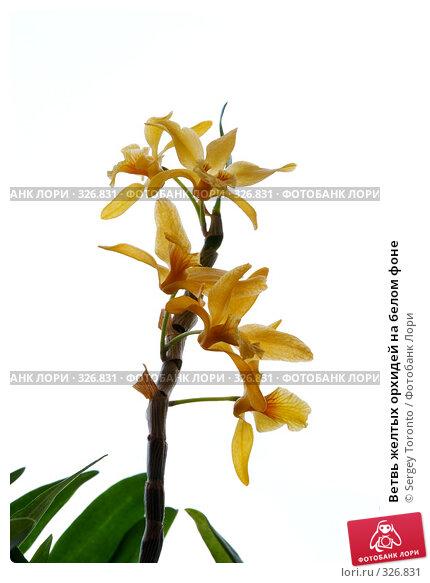 Ветвь желтых орхидей на белом фоне, фото № 326831, снято 29 мая 2008 г. (c) Sergey Toronto / Фотобанк Лори