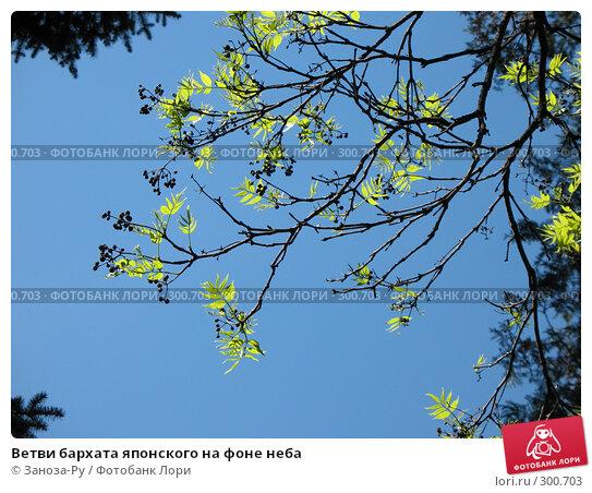 Ветви бархата японского на фоне неба, фото № 300703, снято 24 мая 2008 г. (c) Заноза-Ру / Фотобанк Лори