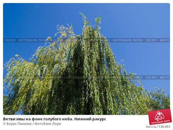 Ветви ивы на фоне голубого неба. Нижний ракурс, фото № 130951, снято 17 августа 2007 г. (c) Борис Панасюк / Фотобанк Лори