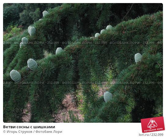 Ветви сосны с шишками, фото № 232099, снято 26 июня 2005 г. (c) Игорь Струков / Фотобанк Лори