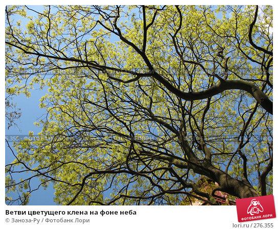 Ветви цветущего клена на фоне неба, фото № 276355, снято 2 мая 2008 г. (c) Заноза-Ру / Фотобанк Лори