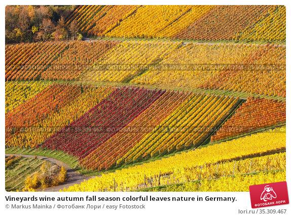 Vineyards wine autumn fall season colorful leaves nature in Germany. Стоковое фото, фотограф Markus Mainka / easy Fotostock / Фотобанк Лори