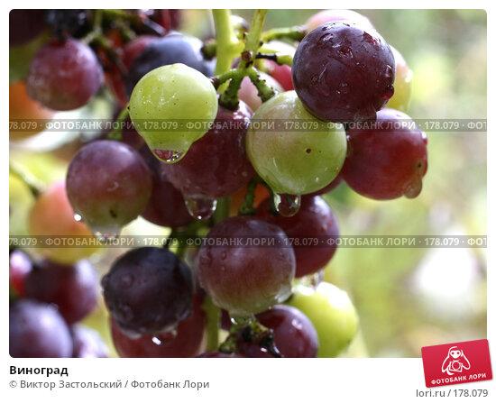 Виноград, фото № 178079, снято 14 сентября 2007 г. (c) Виктор Застольский / Фотобанк Лори