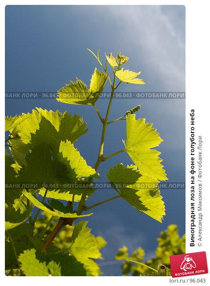 Виноградная лоза на фоне голубого неба, фото № 96043, снято 19 июня 2006 г. (c) Александр Максимов / Фотобанк Лори