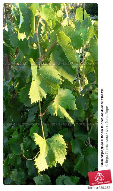 Виноградная лоза в солнечном свете, фото № 80287, снято 27 марта 2017 г. (c) Вера Тропынина / Фотобанк Лори