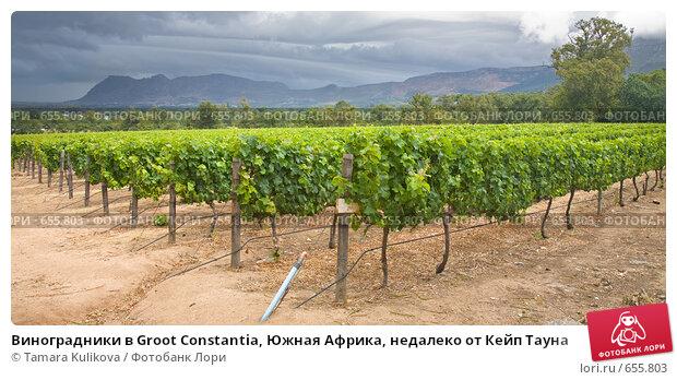 Виноградники в Groot Constantia, Южная Африка, недалеко от Кейп Тауна, фото № 655803, снято 28 декабря 2008 г. (c) Tamara Kulikova / Фотобанк Лори