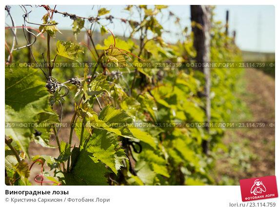 Виноградные лозы. Стоковое фото, фотограф Кристина Саркисян / Фотобанк Лори