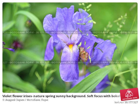 Купить «Violet flower irises- nature spring sunny background. Soft focus with bokeh», фото № 30177527, снято 17 июня 2018 г. (c) Андрей Зарин / Фотобанк Лори