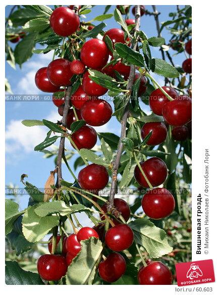 Вишневая гроздь, фото № 60603, снято 11 июля 2007 г. (c) Михаил Николаев / Фотобанк Лори