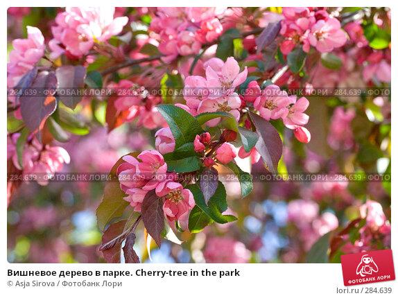 Вишневое дерево в парке. Cherry-tree in the park, фото № 284639, снято 11 мая 2008 г. (c) Asja Sirova / Фотобанк Лори