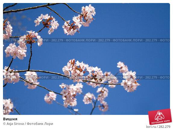 Купить «Вишня», фото № 282279, снято 26 апреля 2008 г. (c) Asja Sirova / Фотобанк Лори