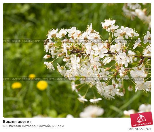 Вишня цветет, фото № 279971, снято 2 мая 2008 г. (c) Вячеслав Потапов / Фотобанк Лори